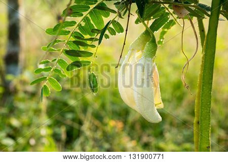 White Agasta Thai vegetable with nature background