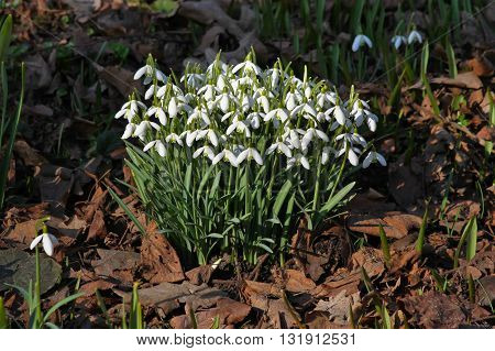 Spring snowdrops (Galanthus) growing through golden leaves