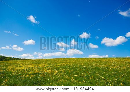 Rural views to the flowers meadow and blue sky. Field with yellow dandelions to the horizon. Pastoral panorama of nature summer. Beautiful landscape of a Sunny day.