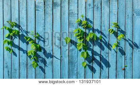 Old wood wall colored blue with green leaves of raspberries are growing through the slits and butterfly on the wall