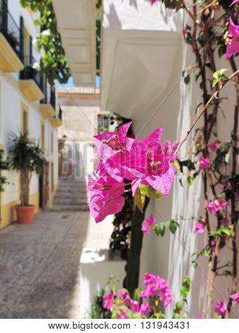 Dalt Vila, Ibiza Town. Focus on a bougainvillea flower poster