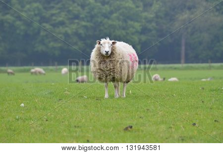 a ewe sheep standing in the field
