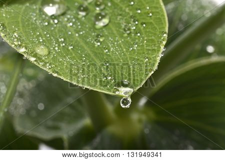 Waterdrops On Lathyrus Leaf