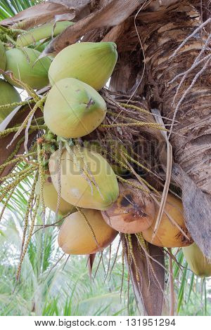 The close up coconut fruit on the tree