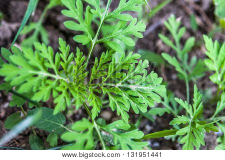 Ambrosie Artemisiifolia plant, (common ragweed) Most cases of hay fever are caused by allergies to ragweed.