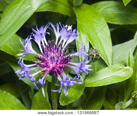 Flower of squarrose knapweed macro selective focus shallow DOF