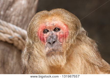 The old red face monkey in the zoo