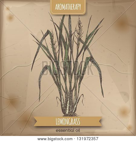 Color Cymbopogon aka lemongrass sketch on vintage background. Aromatherapy series. Great for traditional medicine, perfume design, cooking or gardening.