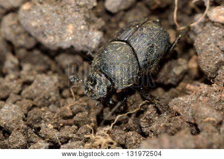 Onthophagus joannae dung beetle. Small dung beetle in the family Scarabaeidae feeding on horse poo