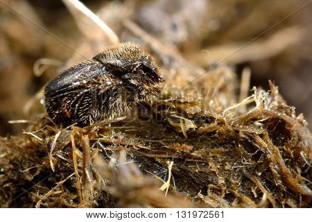 Onthophagus joannae beetle on horse dung. Small dung beetle in the family Scarabaeidae feeding on horse poo
