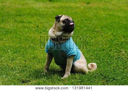 Cute Pug Sitting in Bright Green Grass