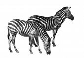 couple of zebras over white background. clipping path included. poster