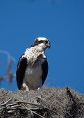 (wild osprey) thank you very much for looking poster