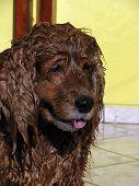 Foco no rosto de um cachorro da raça cocker spaniel inglês de cor caramelo com o pelo molhado poster