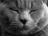british cat - face to face - black and white photo poster