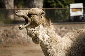 Photo of a camel posing for the camera. poster