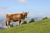 a cow grazing in a mountain of asturias near the san lorenzo pass poster