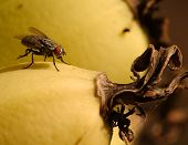 macro shot of a fly on a ripe yellow banana poster