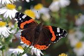 Butterfly Red Admiral (Vanessa atalanta)on  natural background poster