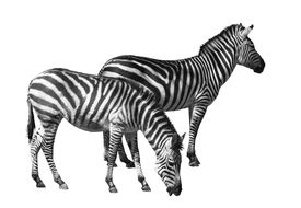 Couple Of Zebras Over White Background