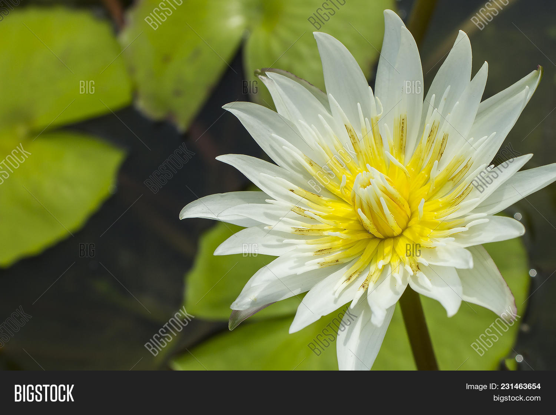 Elegant White Lily Image Photo Free Trial Bigstock