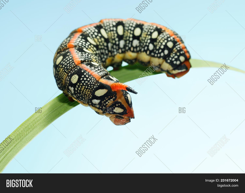 Caterpillar Fake Head Image & Photo (Free Trial) | Bigstock