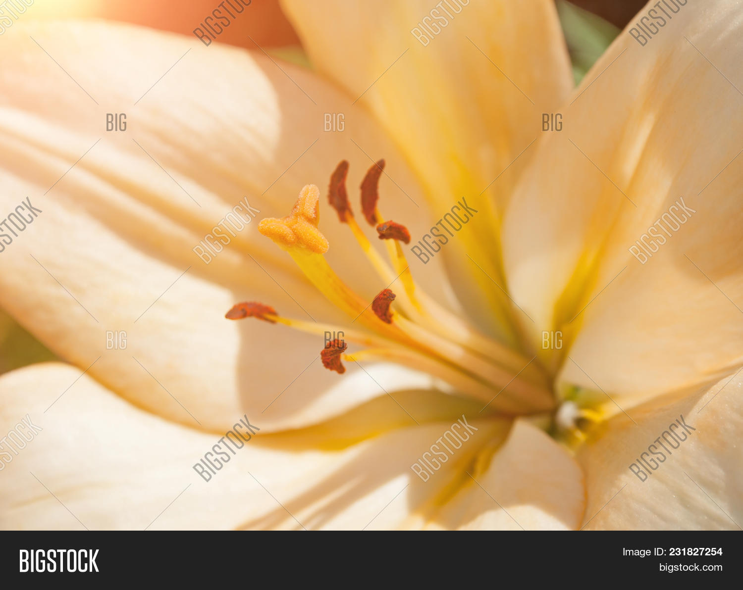 Lily summer flower image photo free trial bigstock lily summer flower of peach color blooming in the summer garden selective focus at the izmirmasajfo