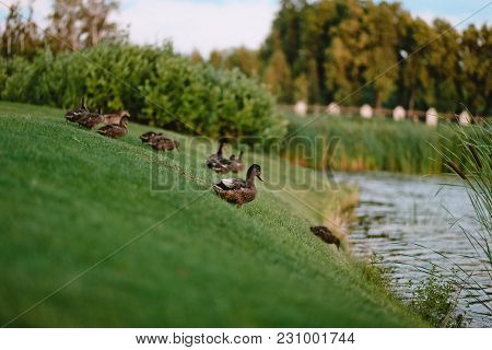 Ducks On The Shore Of The Lake On The Grass After Bathing Clean Feathers