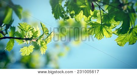 Young Spring Leaves - Fresh Spring Leaves In Forest