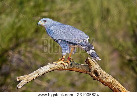 A Gray Hawk Native To Arizona Perched On A Dead Tree Branch. This Particular Hawk Is Tagged For Stud