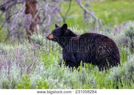 Wild Black Bear Near The Idaho, Wyoming Border