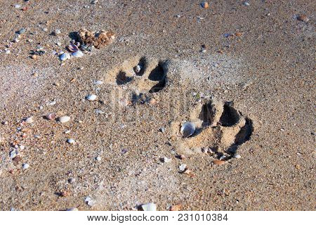 Clear Traces Of The Animal On The Wet Sea Sand With Tiny Seashells On The Beach