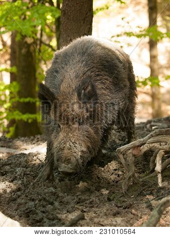 Sus Scrofa Scrofa - Central European Boar In Forest