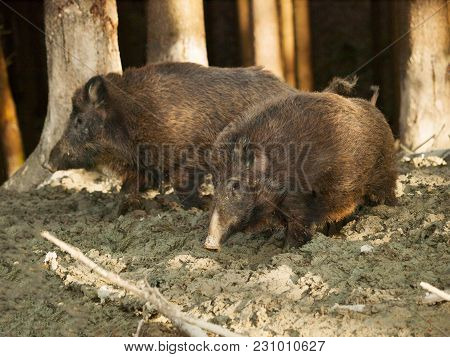 Sus Scrofa Scrofa -two Central European Boars Stay In Mud Bath