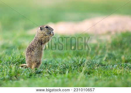 European Ground Squirrel Is Endemic To Central And Eastern Europe