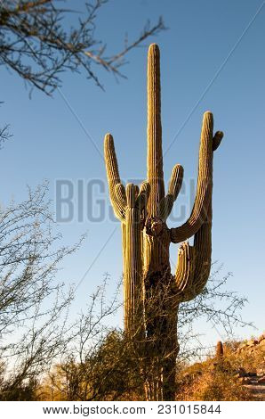 Arizona Saguaro Cactus In The Deserts Of The Western United States