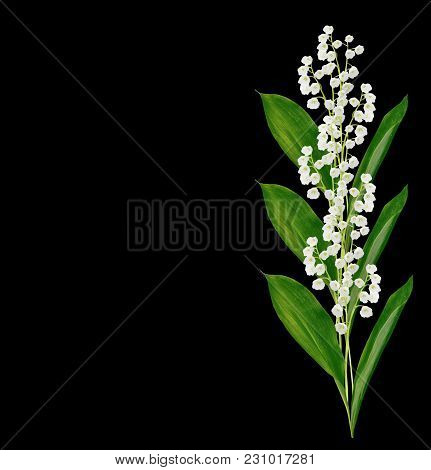 Lily Of The Valley Flower On Black Background