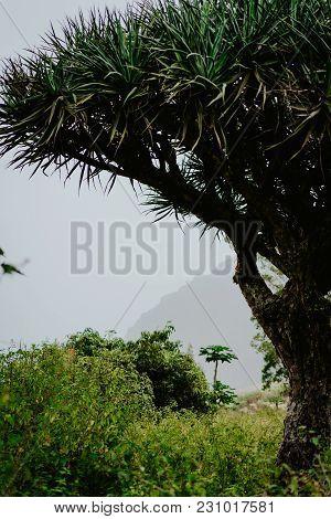 Crone Of Dragon Tree On Santo Antao, Cape Verde Cabo Verde.