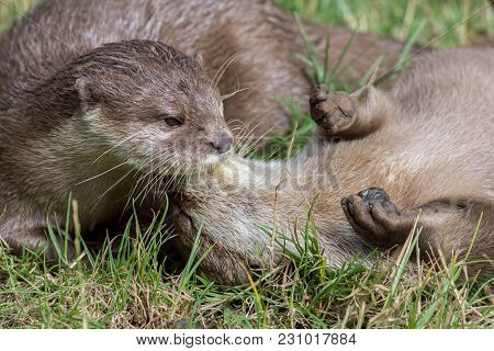 Wild Otters Playing. Affectionate River Animal Pair Social Bonding Activity. Beautiful Wildlife Imag
