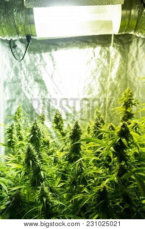 Marijuana Cultivation Indoor Growing Cultivation In Grow Box