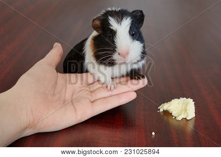 Adorable American Guinea Pig Tricolored With Swirl On Head