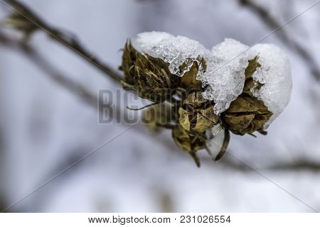 Winters Last Kick With Snow And Ice On Dried Seed Pods
