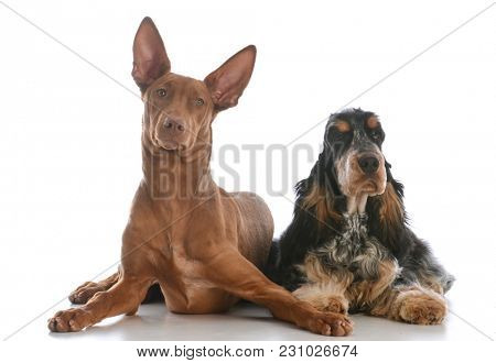 two different purebred dogs laying down isolated on white background