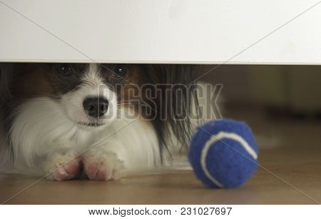 Dog Papillon Looks Under The Bed And Tries To Reach The Ball In The Living Room