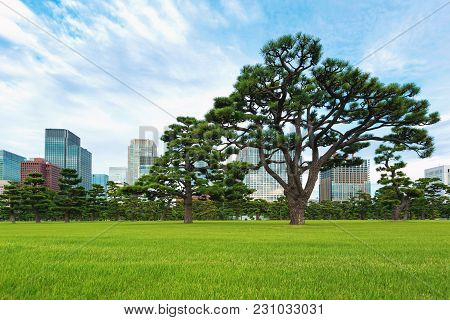 Pine Trees Outside The Emperor's Palace In Tokyo