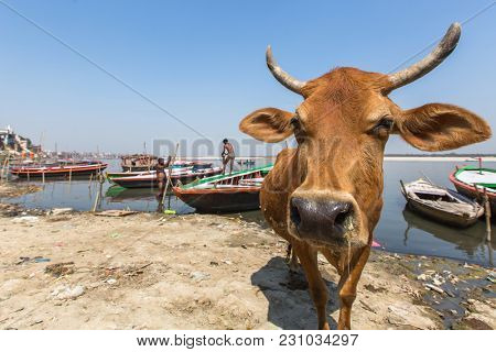VARANASI, INDIA - MAR 13, 2018: Cow on the Bank of the Holy Ganga river. Varanasi is one of the most important pilgrimage sites in India and is one of the 7 sacred cities of Hinduism.