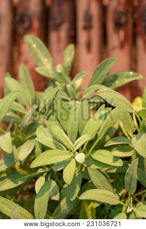 Leaves Of Sage Plant Herb, Sage In Vegetable Garden