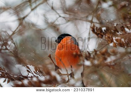 Beautiful Bullfinch Sitting On Tree Branches In Winter Time