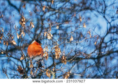 Bullfinch On The Branches Of A Tree On A Blue Background