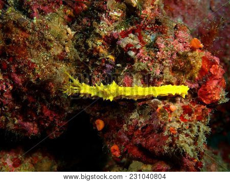 The Amazing And Mysterious Underwater World Of The Philippines, Luzon Island, Anilаo, Sea Cucumber